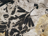 Ginkgo Sp. Fossil Leaves Print by Volker Steger
