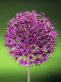 Allium Flower Photo by Sheila Terry