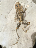 Fossilised Frog Embedded In Rock Photographic Print by Volker Steger