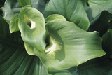 Common Arum Lily Leaves Photographic Print by Duncan Smith