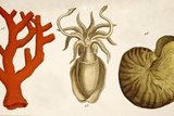1750 Coral Squid & Nautilus Colour Print Posters by Paul Stewart