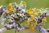 Lichens on Blackthorn Photo by Bob Gibbons