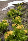 Caltha Palustris Subsp. Polypetala Prints by Bob Gibbons