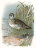 Redshank, Historical Artwork Photographic Print by Sheila Terry