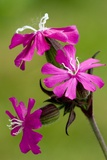 Red Campion (Silene Dioica) Photographic Print by Bob Gibbons