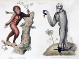 1812 Orang Utan Pan Satyrus And Hylobates Prints by Paul Stewart