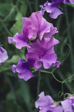 Sweet Pea Flowers Photographic Print by Duncan Smith