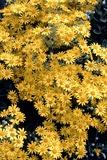 Brachyglottis Flowers Photographic Print by Adrian Sumner