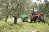 Farmer Spreading Manure In An Olive Grove Print by Bjorn Svensson