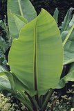 Giant Wild Banana Leaves Photographic Print by Duncan Smith