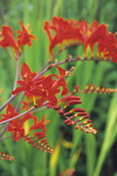 Montbretia Flowers Photographic Print by Duncan Smith