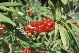 Mezereon Berries (Daphne Mezereum) Photographic Print by Adrian Sumner