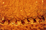 LM of Purkinje Nerves Cells In the Cerebe Photographic Print by Volker Steger