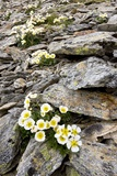 Glacier Crowfoot (Ranunculus Glacialis) Prints by Bob Gibbons