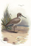 Dunlin, Historical Artwork Photographic Print by Sheila Terry