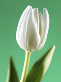 Tulip (Tulipa Sp.) Photographic Print by Johnny Greig