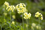Oxlips (Primula Elatior) Prints by Bob Gibbons