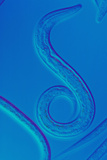 LM of the Nematode Worm, Caenorhabditis Elegans Photographic Print by Sinclair Stammers