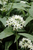 Wild Garlic (Allium Ursinum) Photographic Print by Adrian Sumner