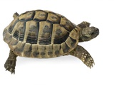 Hermann's Tortoise Posters by Jon Stokes