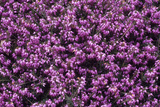 Heather 'Thomas Kingscote' Flowers Photographic Print by Adrian Thomas