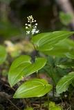 May-lily (Maianthemum Bifolium) Print by Bob Gibbons