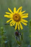 Wild Arnica (Arnica Montana) Photographic Print by Bob Gibbons