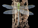 Emperor Dragonfly, Anax Imperator Photographic Print by Sinclair Stammers