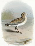 Little Stint, Historical Artwork Photographic Print by Sheila Terry