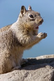 California Ground Squirrel Photographic Print by Bob Gibbons