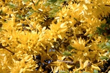 Forsythia Intermedia Photographic Print by Adrian Sumner