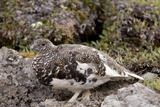 White-tailed Ptarmigan Prints by Bob Gibbons