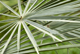 Palm Leaves Print by Johnny Greig