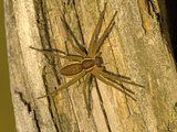 Common Raft Spider Photographic Print by Bob Gibbons