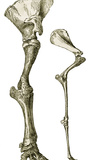 Elephant And Camel Leg Bones, Artwork Photographic Print by Sheila Terry