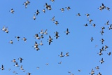 Flock of Northern Pintail Ducks Prints by Bob Gibbons