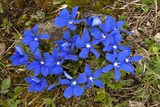 Angled Gentian (Gentiana Angulosa) Posters by Bob Gibbons