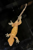 Gecko Photographic Print by Volker Steger