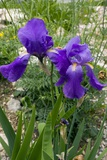 Iris Cengialtii Ssp. Vauchinensis Prints by Bob Gibbons