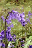 Bluebells (Hyacinthoides Non-scripta) Poster by Adrian Sumner