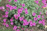 Geranium Subcaulescens Photographic Print by Adrian Sumner