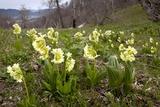 Ruprecht's Primula (Primula Ruprechtii) Photo by Bob Gibbons