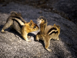 Golden-mantled Ground Squirrels Print by Bob Gibbons