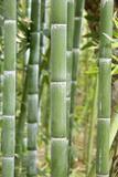 Bamboo (Phyllostachys Sp.) Fotografie-Druck von Johnny Greig