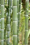 Bamboo (Phyllostachys Sp.) Photographic Print by Johnny Greig