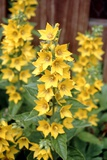 Yellow Loosestrife (Lysmachia Vulgaris) Photographic Print by Adrian Sumner