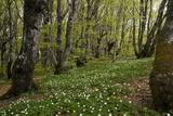 Wood Anemones (Anemone Nemorosa) Photographic Print by Bob Gibbons