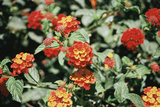 Spanish Flag (Lantana Camara) Photographic Print by Adrian Sumner