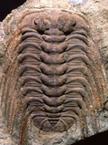 Trilobite Fossil Photographic Print by Sinclair Stammers