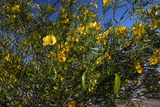 Sticky Cassia (Senna Glutinosa) Photographic Print by Bob Gibbons